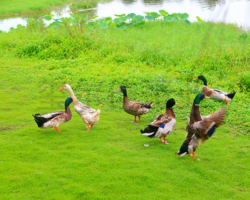 生态鸭养殖