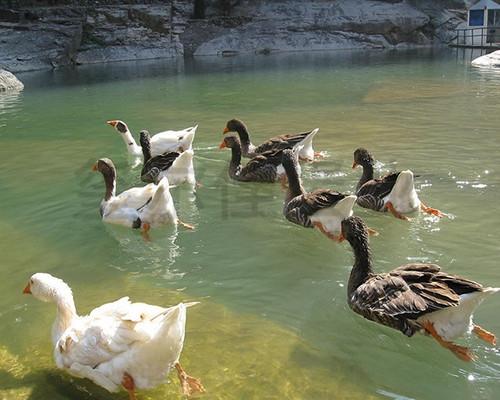 生态鸭价格